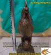 Gà đồng, Kim kê cao 63cm - gà phong thủy, vật phẩm phong thủy, chống lại thói trăng hoa
